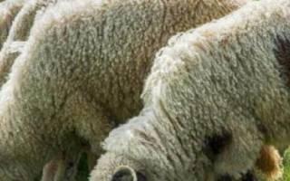 Как организовать бизнес по разведению овец, бизнес-план