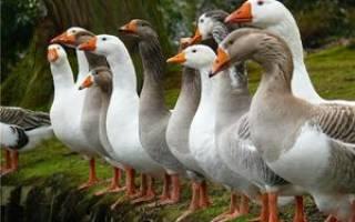 Породы домашних гусей: виды, самые крупные породы