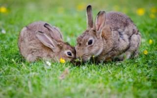 Скелет кролика: строение, особенности пищеварительной системы