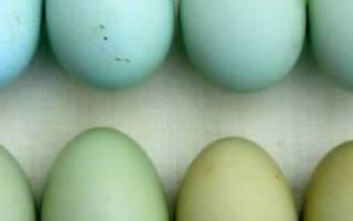 Куры, несущие голубые и зелёные яйца: названия пород с описанием и фото