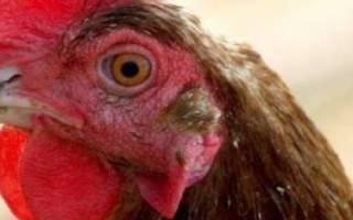 Почему у петуха и кур синеет гребешок: причины