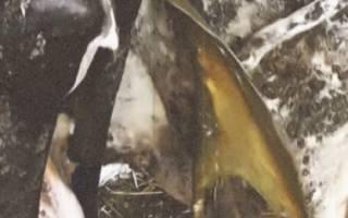 Ацидоз у коров: симптомы и лечение