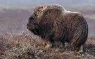 Мускусный бык (Овцебык) и его характеристика