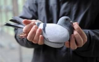 Как поймать голубя — обзор всех способов поимки