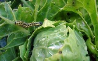 Горчица от гусениц на капусте