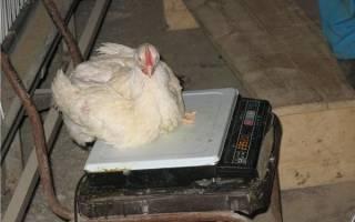 Вес курицы: как определить вес цыпленка и бройлера