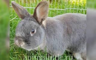 Можно ли давать кроликам мокрую траву c росой или после дождя?