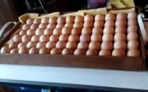 Как переворачивать яйца в инкубаторе вручную — советы по инкубации
