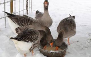 Чем кормить гусей? Нормы кормления, зимний рацион, рацион утят