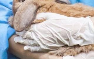 У кролика мокрая мордочка: симптомы и лечение мокреца