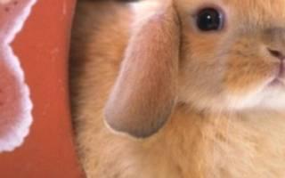 Декоративный вислоухий баран кролик: уход и содержание