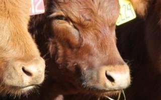 Почему у теленка выпадает шерсть?