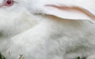 Кролики мясных пород: описание и разведение