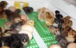Инкубатор «Квочка» — помощник птицевода-любителя