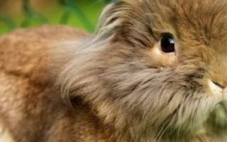Львиноголовый кролик: описание породы, уход и содержание