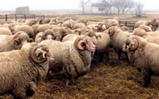Асканийская порода овец: описание и характеристика