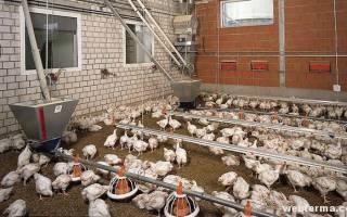 Колибактериоз у кур: симптомы, лечение, профилактика