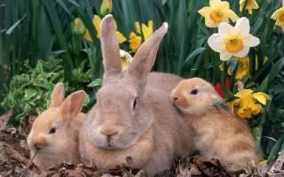 Беременность крольчих и роды — всё, что нужно знать