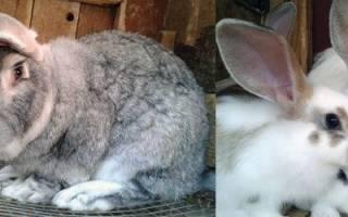 Мастит у кроликов: причины, симптомы и лечение