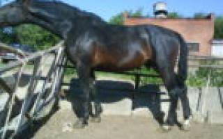 Караковая масть лошади: особенности окраса, влияние на характер