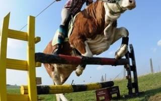 Родео на быках: история происхождения, требования к животным
