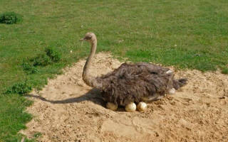 Как часто несутся страусы: сколько раз в год и в каком количестве