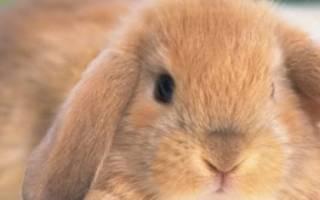 Самые маленькие породы кроликов в мире