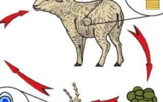 Мониезиоз овец: симптомы и лечение