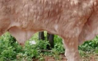 Нодулярный дерматит крупного рогатого скота: симптомы, лечение
