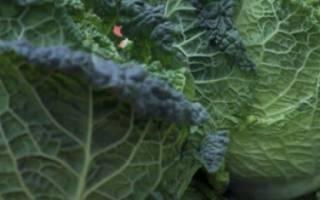 Савойская капуста: выращивание, уход и фото