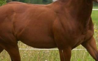 Кватерхорс или четвертьмильная лошадь: история породы, характеристика