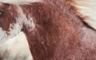 Лошади породы шагия араб: описание и характеристика