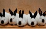 Кроличья ферма — как начать бизнес по разведению кроликов?