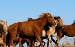 Казахская порода лошадей: происхождение, характеристика, виды