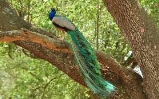 Где живет павлин: места обитания, виды, особенности разведения