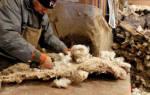 Переработка шерсти овец как бизнес