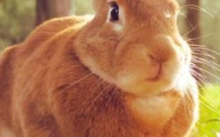 Как узнать что крольчиха беременна?