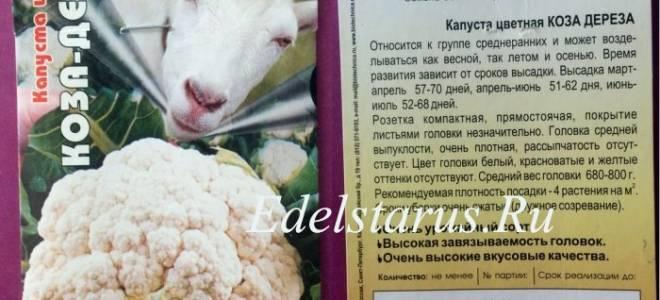 Цветная капуста Коза-дереза: выращивание и уход