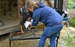 Как доить козу в домашних условиях? Основные правила и техники