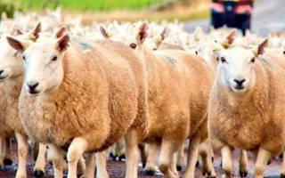 Откорм и нагул овец на мясо в домашних условиях