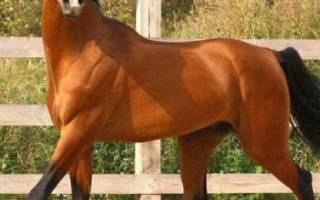 Верховая лошадь восточной породы аргамак