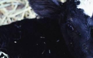 Почему теленок или корова потеет: причины, лечение
