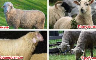 Стрижка овец: как, когда и каким инструментом стригут овец