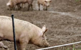 Откорм свиней — виды и особенности составления рациона
