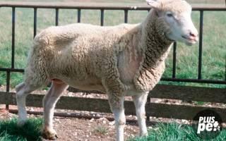 Чесотка у овец: симптомы, профилактика и лечение