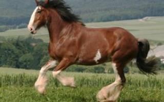 Шотландская тяжеловозная порода лошадей клейдесдаль: история, характеристика