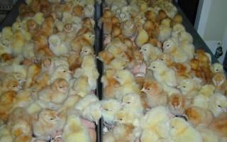 Инкубация куриных яиц: особенности выведения потомства