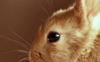 Как видят кролики: особенности зрения и строение глаз