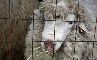 Кормление овец в разном возрасте и по сезонам