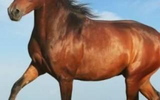 Скаковая лошадь: описание пород лошадей для верховой езды